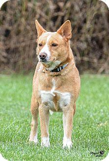 Shiba Inu Mix Dog for adoption in Ottumwa, Iowa - Foxy
