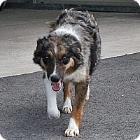 Australian Shepherd Dog for adoption in Rochester, New York - Mandy