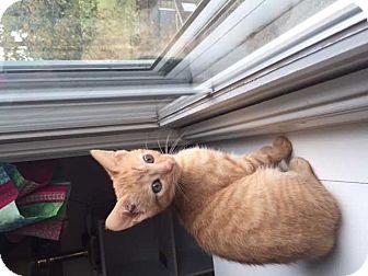 Domestic Shorthair Kitten for adoption in MCLEAN, Virginia - Clark