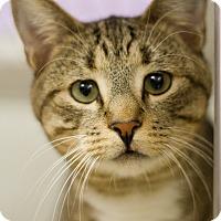 Adopt A Pet :: Le Tigre - Grayslake, IL