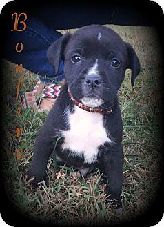 Denver, NC - American Bulldog/Yorkie, Yorkshire Terrier ... Yorkie And Bulldog Mix