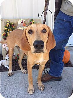 Hound (Unknown Type)/Retriever (Unknown Type) Mix Dog for adoption in Brattleboro, Vermont - Copper