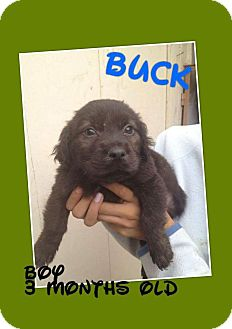 Golden Retriever/Labrador Retriever Mix Puppy for adoption in LAKEWOOD, California - Buck