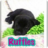 Adopt A Pet :: Ruffles - Smithtown, NY