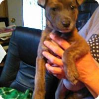 Adopt A Pet :: Sheba - Tiptonville, TN