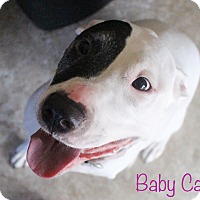 Bull Terrier/American Staffordshire Terrier Mix Dog for adoption in Middlebury, Connecticut - Babycakes-Tripod