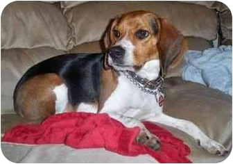 "Beagle Dog for adoption in Portland, Oregon - Julius Ceasar ""JC"""