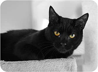 Domestic Shorthair Cat for adoption in Carlisle, Pennsylvania - Makani