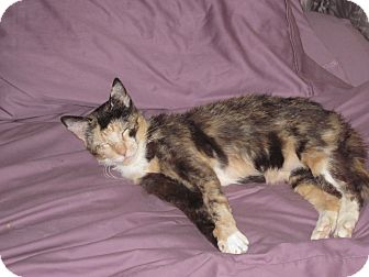 Domestic Shorthair Cat for adoption in Speonk, New York - Dasher