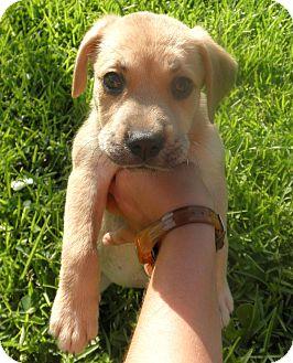 German Shepherd Dog/Terrier (Unknown Type, Medium) Mix Puppy for adoption in Miami, Florida - Nala