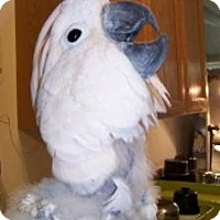 Cockatoo for adoption in Northbrook, Illinois - Rocky