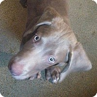 Adopt A Pet :: Louie the Mini Weim - St. Louis, MO