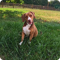 Adopt A Pet :: Sully - Indian Trail, NC