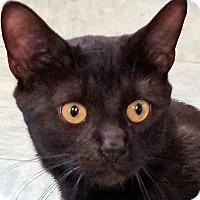 Adopt A Pet :: Ollie - Sprakers, NY