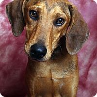 Adopt A Pet :: Po Hound Cur - St. Louis, MO
