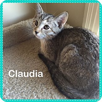 Domestic Shorthair Kitten for adoption in Greensburg, Pennsylvania - Claudia