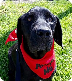 Labrador Retriever Dog for adoption in San Diego, California - Boone