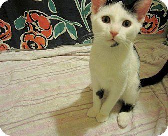 Domestic Shorthair Kitten for adoption in Columbus, Ohio - Oliver