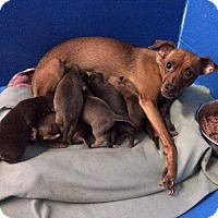 Adopt A Pet :: Rue, Italian Greyhound-Terrier mix - Arlington, WA