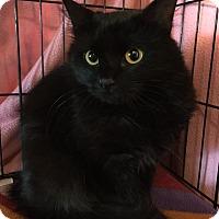 Bombay Cat for adoption in Rochester Hills, Michigan - Lucinda