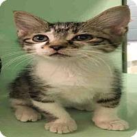 Adopt A Pet :: ABRAZO - Plano, TX