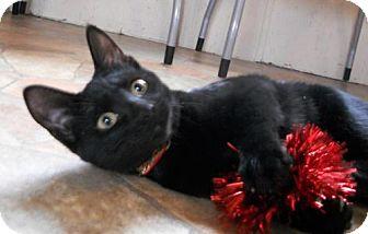 Domestic Mediumhair Cat for adoption in Siren, Wisconsin - Theodora