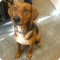 Redbone Coonhound Mix Dog for adoption in Sparta, New Jersey - Diesel #2