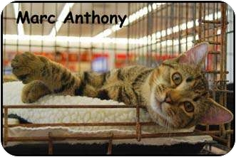 Domestic Shorthair Cat for adoption in Merrifield, Virginia - Marc Anthony