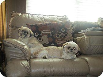 Shih Tzu Dog for adoption in Saint Louis, Missouri - Riley
