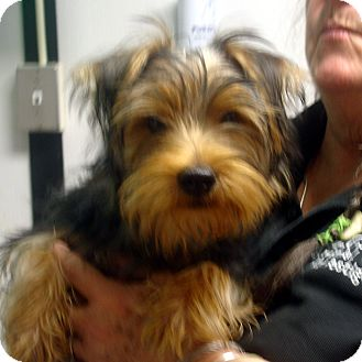 Yorkie, Yorkshire Terrier Mix Puppy for adoption in baltimore, Maryland - Buddy