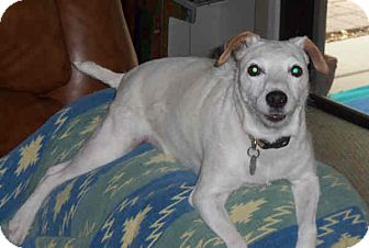 Jack Russell Terrier Dog for adoption in Phoenix, Arizona - CHELSEY