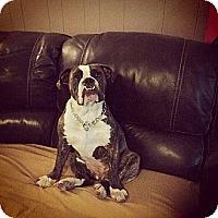 Adopt A Pet :: Olive - Cibolo, TX