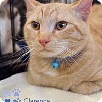 Adopt A Pet :: Clarence - Merrifield, VA