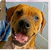 Adopt A Pet :: Uno - Springdale, AR