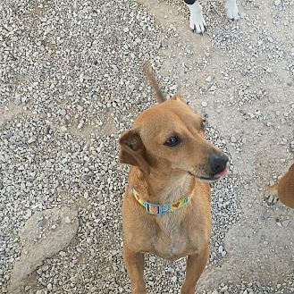 Dachshund/Chihuahua Mix Dog for adoption in Lubbock, Texas - Charlie