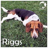 Adopt A Pet :: Riggs - Chicago, IL