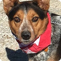 Australian Cattle Dog Mix Dog for adoption in Texico, Illinois - Echo