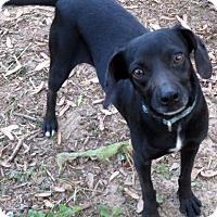 Adopt A Pet :: Callie - Glastonbury, CT