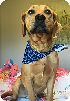 Labrador Retriever Mix Dog for adoption in Milwaukee, Wisconsin - JETHRO