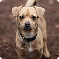 Adopt A Pet :: Courage - Eugene, OR