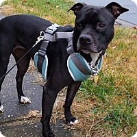 Pit Bull Terrier Mix Dog for adoption in Fallston, Maryland - Pearl