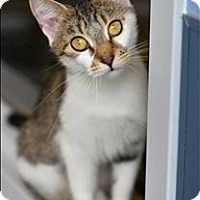 Domestic Shorthair Cat for adoption in Madison, New Jersey - Whitney