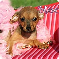 Adopt A Pet :: Mocha *Adoption Pending * - Marion, KY
