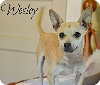 Chihuahua Mix Dog for adoption in Chester, Connecticut - Wesley