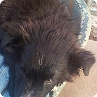 Border Collie Mix Puppy for adoption in Apple Valley, California - Baloo