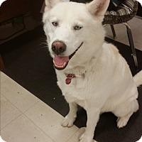 Husky Dog for adoption in Pottsville, Pennsylvania - Zues