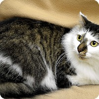 Maine Coon Cat for adoption in Richmond, Virginia - Ruth