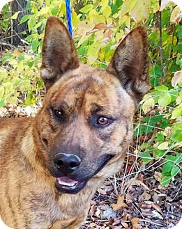Dutch Shepherd Mix Dog for adoption in New York, New York - Marbles **FOSTER NEEDED**