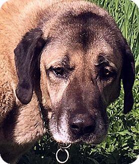 Anatolian Shepherd/Mastiff Mix Dog for adoption in Surrey, British Columbia - Frank