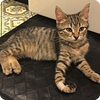 Domestic Shorthair Kitten for adoption in Cincinnati, Ohio - Roadie